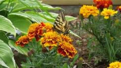 Myrtle's Garden Butterfly